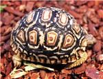 主人如何为陆龟驱虫?