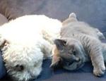英国短毛猫的养护知识