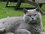 如何科学饲养英国短毛猫