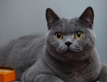 英国短毛猫常见的几种颜色