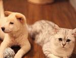 英国短毛猫的性格特点