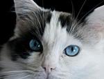猫咪为什么不能吃巧克力