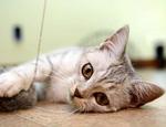 英国短毛猫好养吗