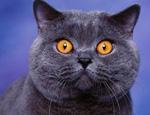 英国短毛猫的形态特征