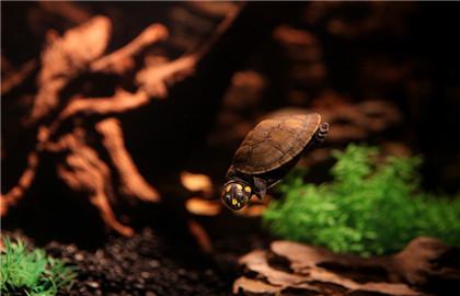 适合家庭饲养的宠物龟品种合集