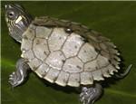 初级水龟品种:密西西比地图龟