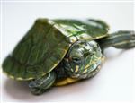 巴西龟的选购与饲养杂谈
