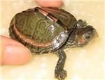 印度棱背龟的饲养要点