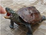 初级水龟品种:中华草龟