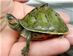 初级水龟品种:印度棱背龟