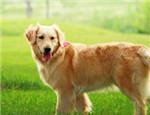 金毛犬的品种简介