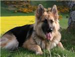 德国牧羊犬的训练时间及训练方法