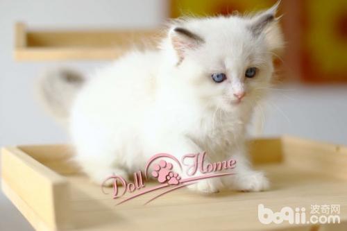布偶猫咪的宠物家园 - 波奇网宠物家园,分享宠物的