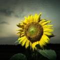 暗夜里的向日葵
