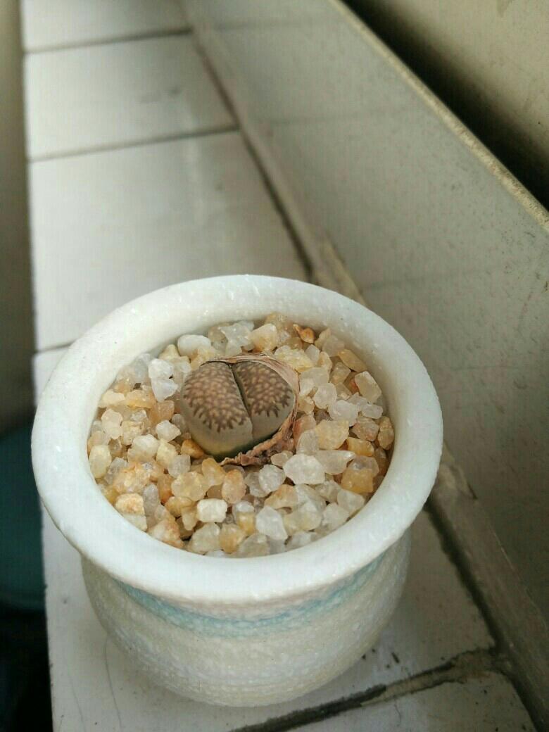 生石花可以浇水了吗?