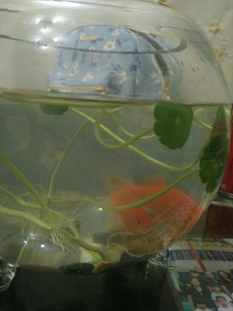 金鱼怎么喂食