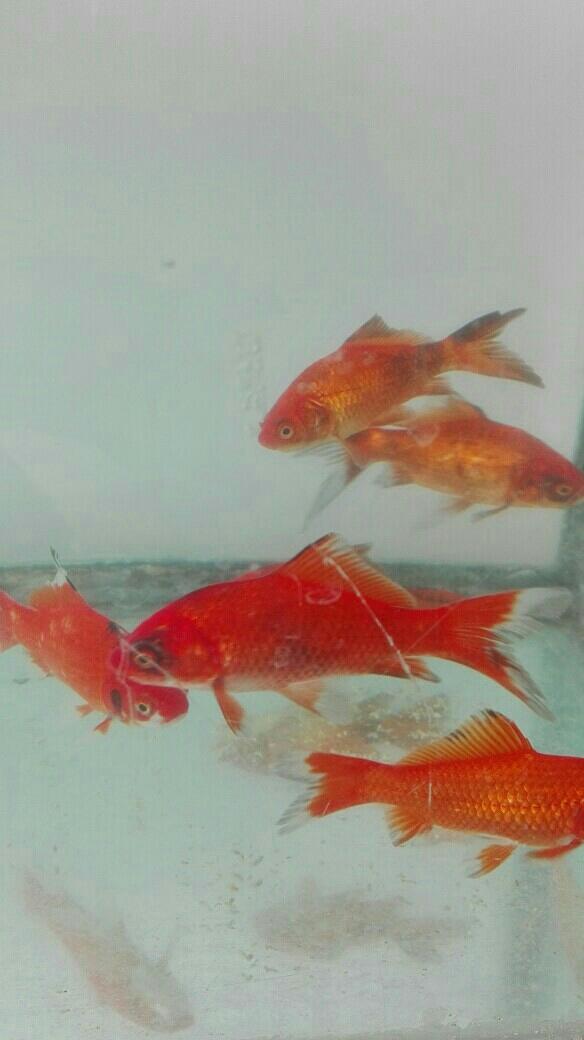 金鱼黑斑病