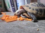 论宠物龟补充维生素A的利与弊