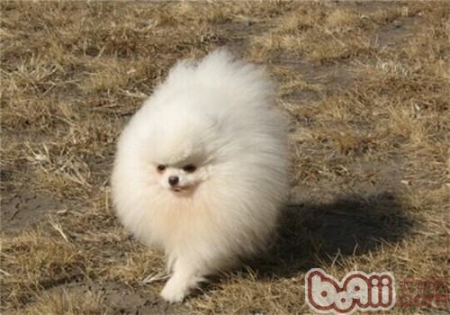 博美犬的形态特征