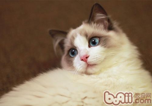 布偶猫的性格特点