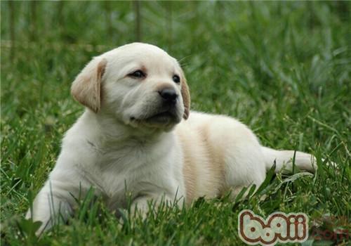 拉布拉多猎犬的品种简介