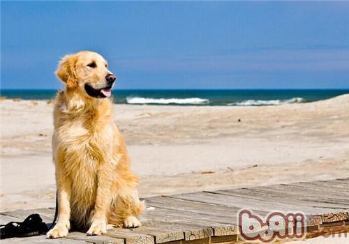 金毛犬的养护知识