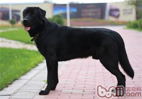 拉布拉多猎犬的养护知识