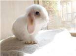 如何训练垂耳兔上厕所