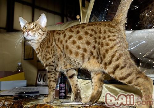 奥西猫的性格特点如何