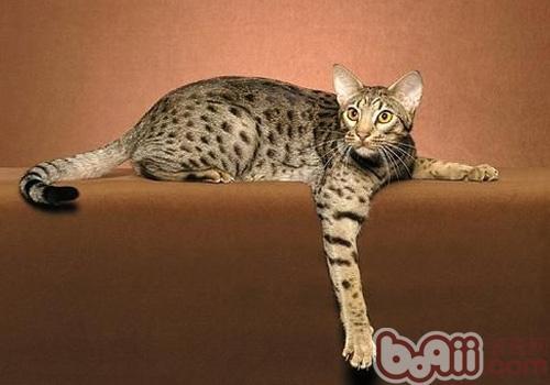 奥西猫的形态特征有哪些
