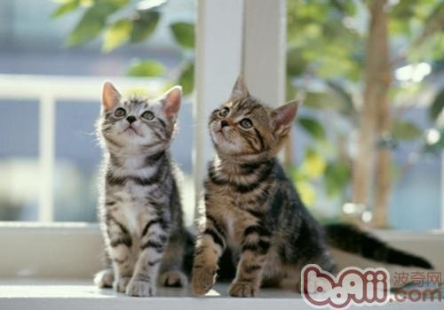 美国短毛猫的形态特征