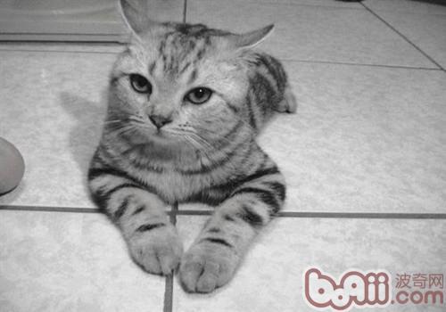 美国短毛猫的养护知识