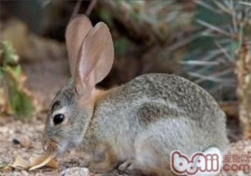 巨型花明兔的喂食要求