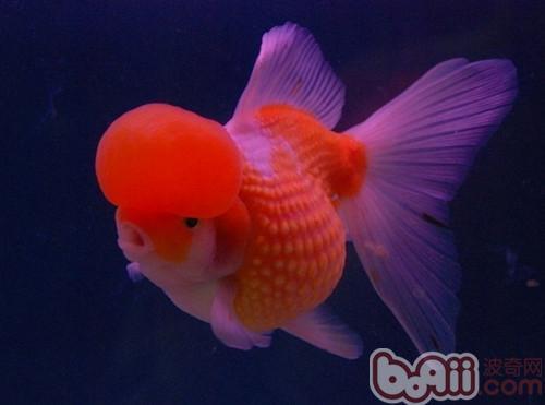 金鱼的饲养环境要求