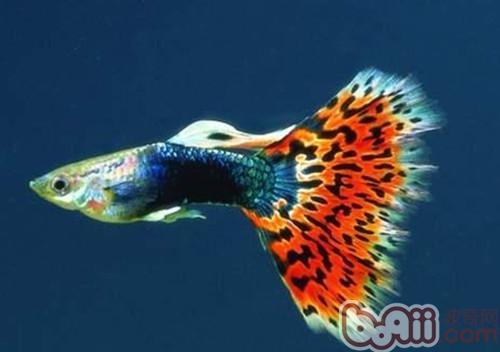 常见的孔雀鱼的外形特点