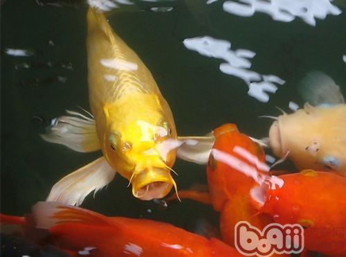 锦鲤如何保持健康和体色的饲养要点