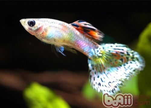 孔雀鱼的品种简介