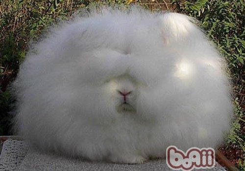 安哥拉兔的居住环境及繁殖要点