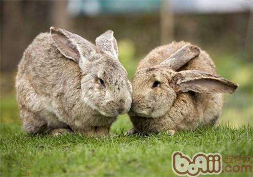 巨型花明兔的饲养方法和生活习性