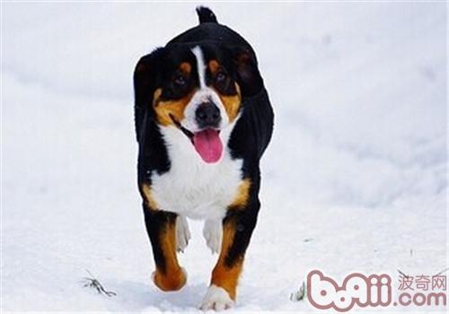 恩特雷布赫山地犬的养护知识