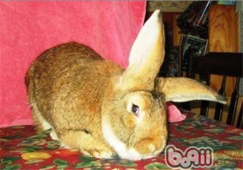 巨型花明兔的环境要求