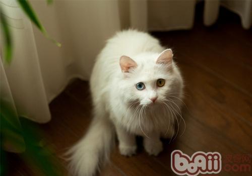 波斯猫的性格特点如何