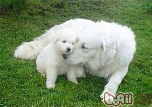 哥威斯犬的狗粮选择