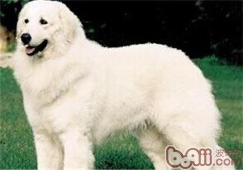 哥威斯犬的养护知识