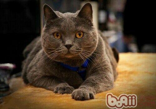 沙特尔猫的形态特征