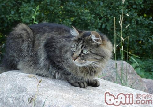 西伯利亚森林猫的形态特征