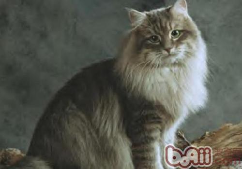 西伯利亚森林猫的品种简介