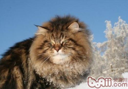西伯利亚森林猫的喂食要求