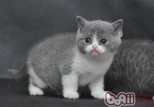 英国短毛猫的品种简介