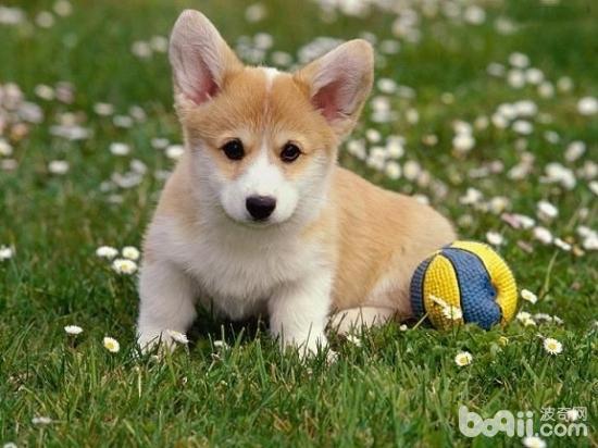 威尔士柯基犬的品种简介